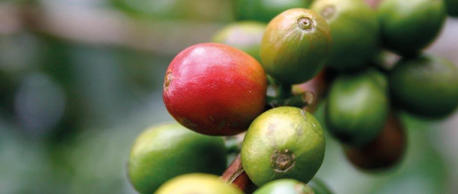 Ein ausgewählte Kaffeeprobe – Vorprobe genannt – wird in das Unternehmen geschickt.